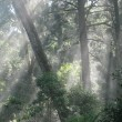 Sun shining through the mist and hoop pine branches.